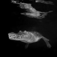 Crocodille reflection