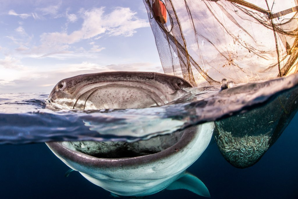 Whale Shark is Stealing Sardines